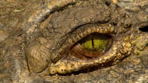 coccodrillo-nilo-occhio-2