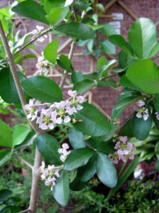 salute-e-benessere-acerola-in-fiore