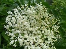 salute-e-benssere-fiori-di-sambuco